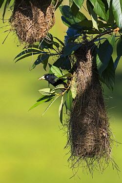 Yellow-rumped cacique (Cacicus cela) at nest, coastal rainforest, Mata Atlantica, Bahia, Brazil.