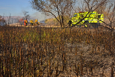 Firefighters working after a dense cattail marsh at the Sonny Bono Salton Sea National Wildlife Refuge was burned for habitat management to benefit the endangered Yuma clapper rail. The Yuma clapper r...