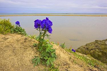 Monkshood (Aconitum productum), Amguema River Estuary, Chukchi Sea, Chukotka, Siberia, Russia