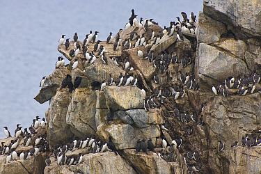 A portion of a huge cliffside seabird colony on Kolyuchin Island, Chukotka, Chukchi Sea, Russia.