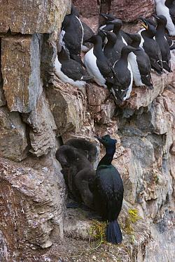 Pelagic cormorant (Phalacrocorax pelagicus) near Common guillemots (Uria aalge inornata) on its nest with chicks, Kolyuchin Island, Chukotka, in the Chukchi Sea, Siberia, Russia.