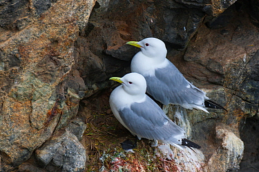 Pair of black-legged kittiwakes (Rissa tridactyla pollicaris) on their nest at a huge cliffside seabird colony on Kolyuchin Island, Chukotka, Chukchi Sea, Siberia, Russia