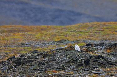 Snowy owl (Nyctea scandiaca) resting on rocky tundra, Wrangel Island, Russia. August.