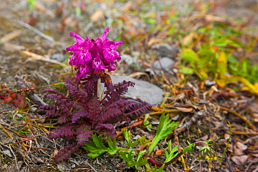 Lousewort (Pedicularis sp.), Wrangel Island, Siberia, Chukchi Sea, Russia. August