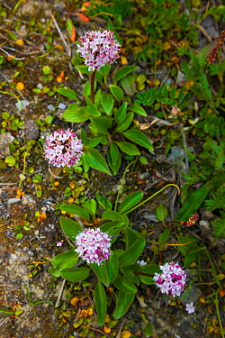 Capitate Valerian (Valeriana capitata) - aka Mountain Heliotrope or Sharpleaf Valerian, Wrangel Island, Siberia, Chukchi Sea, Russia. August