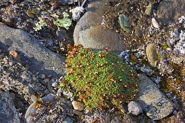 Alpine azalea in fruit (Loiseleuria procumbens), Wrangel Island, Siberia, Chukchi Sea, Russia. August