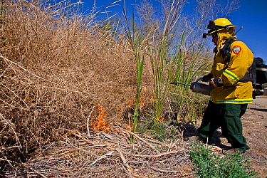 Firefighters starting controlled burn of dense cattail marsh at the Sonny Bono Salton Sea National Wildlife Refuge. Burned as habitat management to benefit the endangered Yuma clapper rail (Rallus lon...