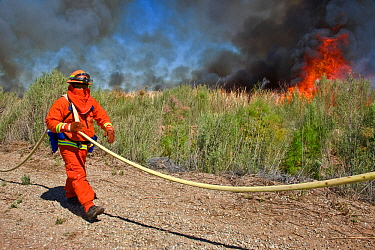 Firefighters monitoring controlled burn of dense cattail marsh at the Sonny Bono Salton Sea National Wildlife Refuge. Burned as habitat management to benefit the endangered Yuma clapper rail (Rallus l...