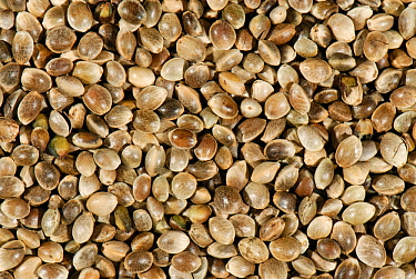Organic Hemp seed (Cannabis sativa).