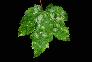 Powdery Mildew (Erysiphe plantani) on young Sycamore leaves.