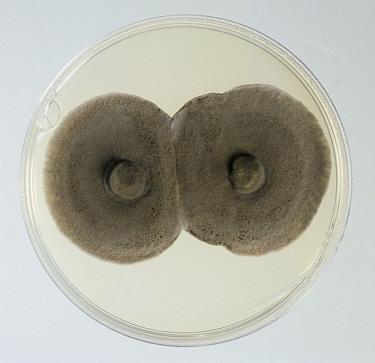 Eyespot / Strawbreaker Rot (Pseudocercosporella herpotrichoides) culture on a PDA plate.