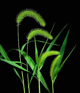 Giant Foxtail (Setaria faberi) flower spikes of grass weed.