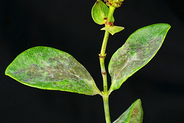 Powdery Mildew (Erysiphe lonicerae) on Honeysuckle (Lonicera sp) leaves.
