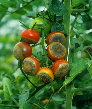 Blossom end rot on Tomato fruits, a symptom of calcium deficiency