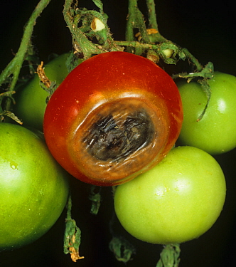 Blossom end rot on Tomato fruit caused by calcium deficiency