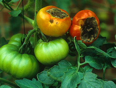 Blossom end rot on Tomatoes, a calcium deficiency symptom
