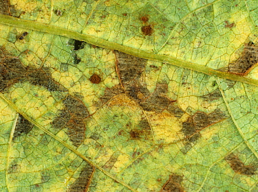 Close up of Angular leaf spot (Phaeoisariopsis griseola) lesions on a Bean leaf (Phaseolus sp).