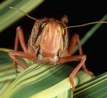 Desert locust (Schistocerca gregaria) head on variegated leaves