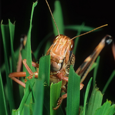 Desert locust (Schistocerca gregaria) feeding on Wheat