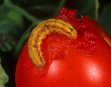 Tomato fruitworm (Helicoverpa armigera) caterpillar, coloured orange from feeding on a Tomato fruit