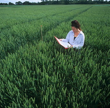 Research noting the growth of Wheat (Triticum aestivum) in an experimental farm field, UK