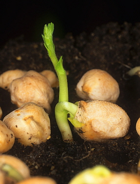 A germinating Chickpea (Cicer arietium) seed with well developed plumule and radicle penetrating the soil