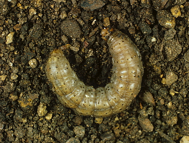 Turnip cutworm (Agrotis segetum) moth caterpillar on the soil surface