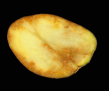 Potato late blight (Phytophthora infestans) damage in a Potato tuber section