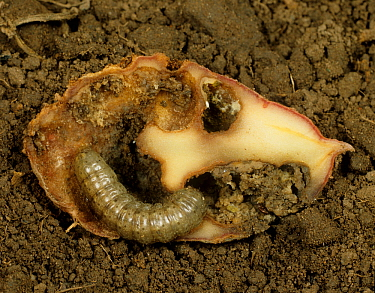 Turnip cutworm (Agrotis segetum) moth caterpillar in a damaged Potato tuber