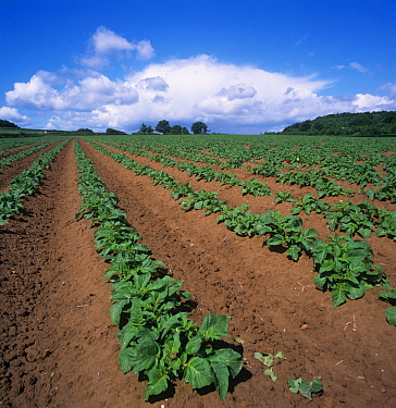 Young Potato crop (Solanum tuberosum), Somerset, UK