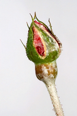 Powdery mildew (Sphaerotheca pannosa) on a Rose bud (Rosa sp).