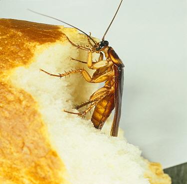 American cockroach (Periplaneta americana) on bread.