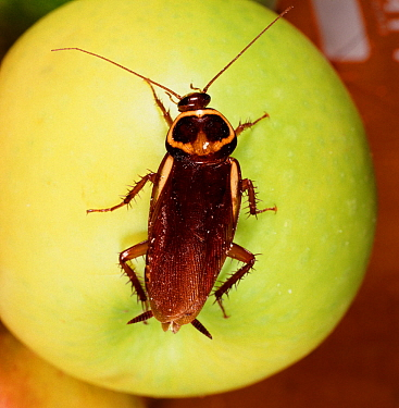 Australian Cockroach (Periplaneta australasiae) on a green Apple.