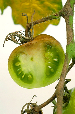 Late Blight (Phytophthora infestans) discolouration in a sectioned Tomato fruit.