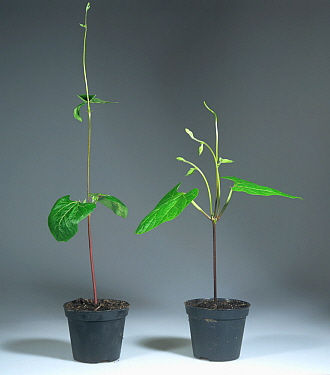 Apical dominance, comparing two runner bean plants where one has had the growing point removed.
