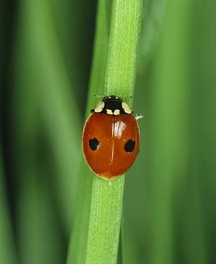 Two-spot ladybird (Adalia bipunctata) adult on a cereal plant leaf