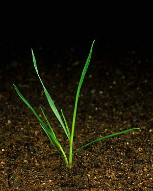 Silky bent (Apera spica-venti) seedling with one tiller
