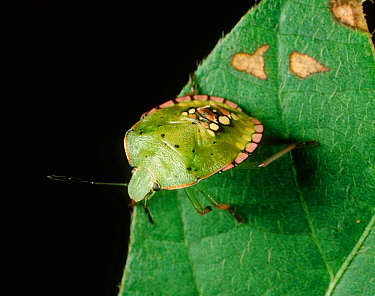 Southern green stink bug (Nezara viridula) nymph on Soyabean leaf