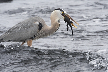 Great blue heron (Ardea herodias) feeding on newly hatched marine iguana (Amblyrhynchus cristatus) on Fernanina Island, Galapagos Islands.