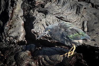 Lava heron (Butorides sundevalli) on Santiago Island. Galapagos Islands.