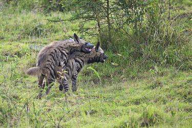 Striped hyena (Hyaena hyaena) mating in Nakuru National Park, Kenya.