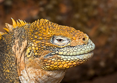 Land iguana (Conolophus subscristatus) on North Seymour. Galapagos Island archipelago, Equador.