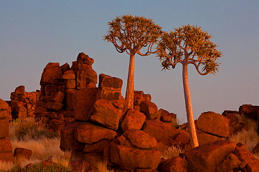 Quiver trees (Aloe dichotoma) at Giants Playground near the Quiver Tree Forest. Kootsmanshoop, Namibia.