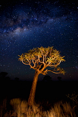 Quiver trees (Aloe dichotoma) at night, Quiver Tree Forest near Keetmashoop, Namibia
