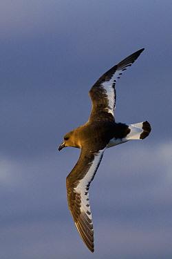 Pintado Petrel (Daption capense capense) , flyiing over the Southern Ocean / Antarctic Ocean.