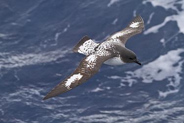 Pintado petrel (Daption capense capense) flying over the Southern Ocean / Antarctic Ocean.