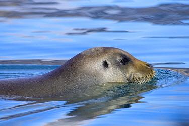 Bearded seal (Erignathus barbatus) swimming, Svalbard archipelago, Norway. June.