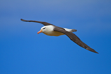 Black-browed albatross (Thalassarche melanophrys) in flight, on New Island, Falklands,