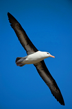 Black-browed albatross (Thalassarche melanophris) in flight against blue sky near colony, New Island, Falklands.