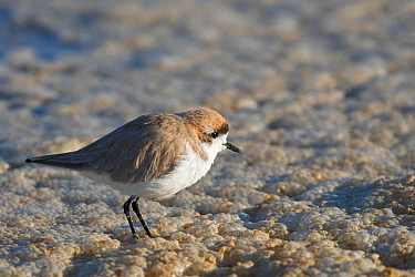 Puna plover (Charadrius alticola) on salt pan, Bolivia.